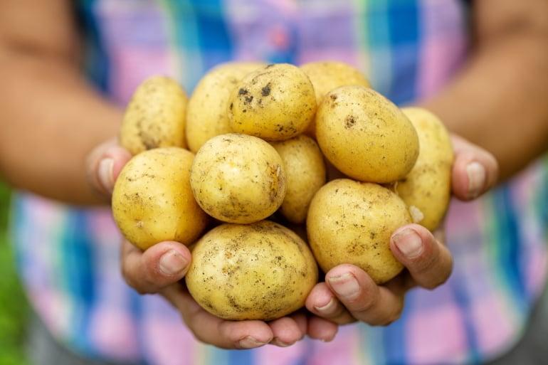 картофель польза или вред для организма человека