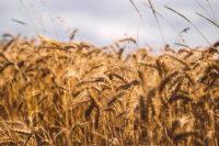 макароны твердые и мягкие сорта пшеницы